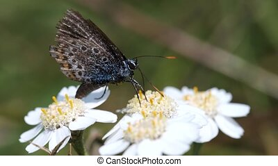 Common Blue cleans his proboscis - Swamp Yarrow