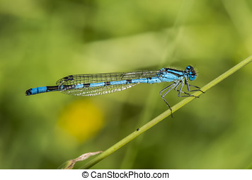 Common blue damselfly resting on a plant stalk