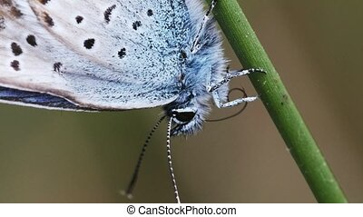 Common Blue is dressing up - macro shot