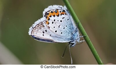 Common Blue is dressing up
