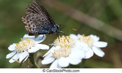 Common Blue on a Swamp Yarrow - flowers - in a Macro shot