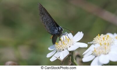 Common Blue on a Swamp Yarrow - front view - Common Blue on...