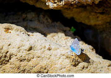 Common Blue butterfly or Polyomathus icarus male.