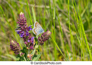 Common Blue (Polyommatus icarus) butterfly searching nectar on a wild sage