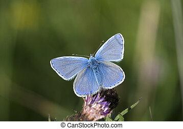 Common blue, Polyommatus icarus