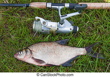 Common bream fish on green grass. Catching freshwater fish and fishing rod with reel.