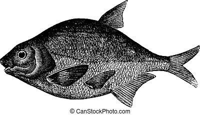 Common bream or Abramis brama, freshwater, fish , vintage engraving.
