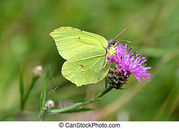 Common brimstone butterfly (Gonepteryx rhamni)