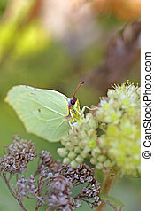 Common Brimstone butterfly on a Norwegian angelica