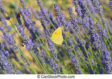 common brimstone butterfly on Lavender flowers