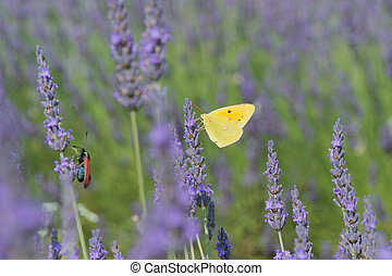 common brimstone butterfly on Lavender