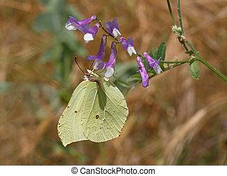 common brimstone butterfly on wild flower