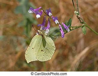 common brimstone butterfly on wild flower