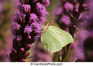 Common brimstone butterfly