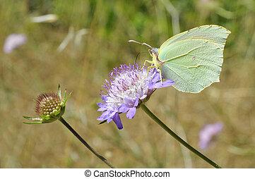 Common Brimstone feeding on flower - Macro female common...