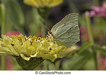 Common Brimstone, Gonepteryx rhamni