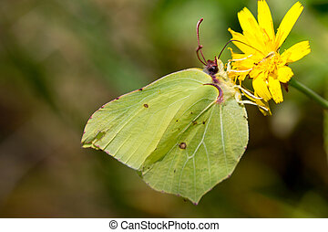 Common brimstone (Gonepteryx rhamni) on the north sea island...