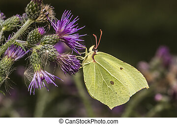 Common brimstone (Gonepteryx rhamni)