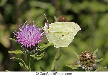 Common Brimstone (Gonepteryx)