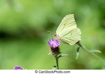 common brimstone on purple thistle - common brimstone on...