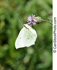 Common Brimstone butterfly female on a flower