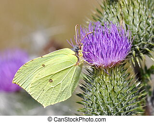 Common Brimstone butterfly male on a flower
