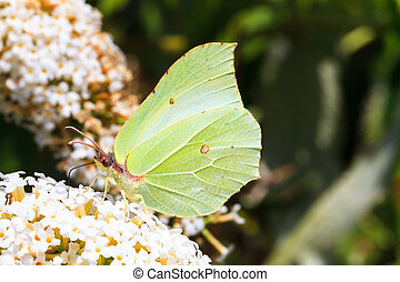 Common Brimstone - Gonepteryx rhamni (Common Brimstone) on...
