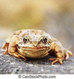 common brown frog macro image