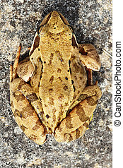 common brown frog on a rock
