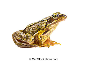 Common brown frog on white background