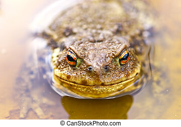 common brown toad in water