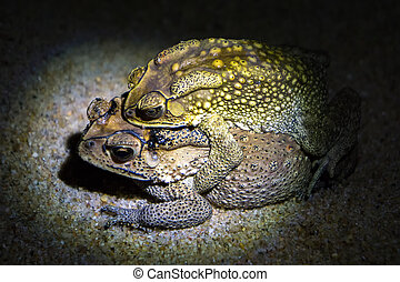 Common brown toads reproduce at night, female carrying male on her back, going towards pond where the eggs are laid