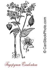 common buckwheat, vintage print