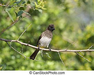 Common bulbul, Pycnonotus barbatus, Single bird on branch, ...