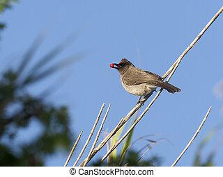Common bulbul, Pycnonotus barbatus, single bird with cherry...
