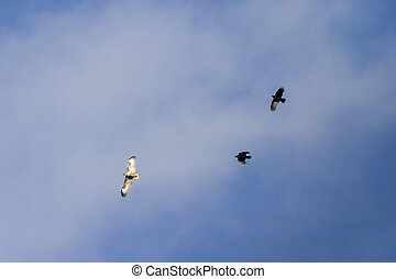 common buzzard being chased