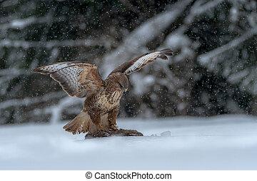 Common buzzard. Bird of prey in winter.