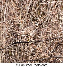 Common buzzard (Buteo buteo) Camouflage