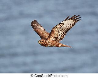 Common buzzard (Buteo buteo) - Common buzzard in flight with...
