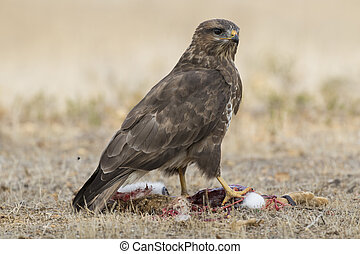 Common buzzard (Buteo buteo), eating from a rabbit on the ground