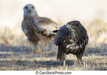 Common buzzard, (Buteo buteo), feeding on the ground and a red kite in the background. Spain