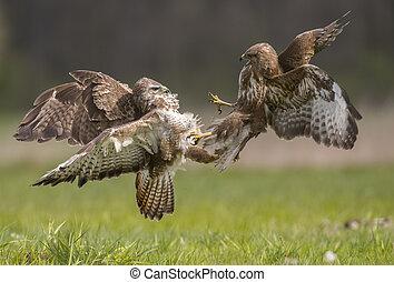Common buzzard (Buteo buteo) fighting