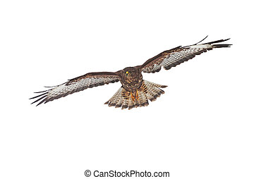 Common buzzard, buteo buteo, flying isolated on white background