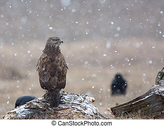Common buzzard (Buteo buteo) in a snowstorm in the meadow
