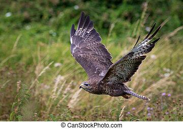 Common buzzard  (Buteo buteo) in flight