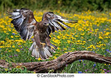 Common buzzard (Buteo buteo) perched