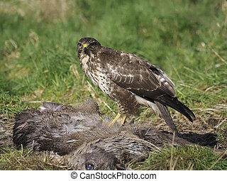 Common buzzard, Buteo buteo, single bird on Roe deer carcass...