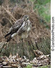 Common buzzard, Buteo buteo, single bird on stump, ...