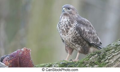 Common buzzard, Buteo buteo, single bird on dead pheasant,...