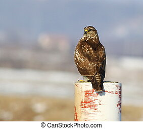 Common Buzzard, Buteo buteo